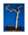 Coffee Tree BM5387 Mini Albero