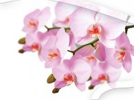 050  - Orchidee