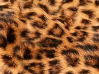 051 -  Leopardato